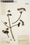 Couma macrocarpa Barb. Rodr., COLOMBIA, J. Cuatrecasas 7253, F