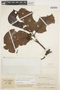 Couma macrocarpa Barb. Rodr., COLOMBIA, J. Cuatrecasas 13975, F