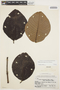 Couma macrocarpa Barb. Rodr., BRAZIL, R. de Lemos Fróes 394, F