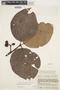 Couma macrocarpa Barb. Rodr., COLOMBIA, J. Cuatrecasas 16998, F
