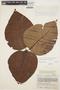 Couma macrocarpa Barb. Rodr., COLOMBIA, J. Cuatrecasas 17483, F