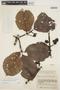 Couma macrocarpa Barb. Rodr., COLOMBIA, J. Cuatrecasas 16822, F