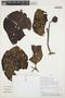 Couma macrocarpa Barb. Rodr., PERU, C. Díaz S. 7658A, F