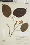 Lundia puberula Pittier, VENEZUELA, G. S. Bunting 2572, F