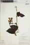 Lundia puberula Pittier, BRAZIL, G. T. Prance 6462, F