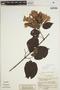 Lundia puberula Pittier, COLOMBIA, W. R. Philipson 1382, F