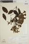 Lundia puberula Pittier, BRAZIL, G. T. Prance 7156, F