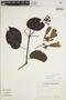 Lundia puberula Pittier, ECUADOR, H. Lugo S. 4581, F