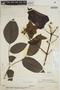 Lundia puberula Pittier, VENEZUELA, H. F. Pittier 13335, F