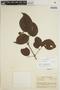 Lundia puberula Pittier, COLOMBIA, A. E. Lawrence 459, F