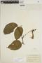 Lundia puberula Pittier, COLOMBIA, A. E. Lawrence 338, F