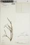 Lundia puberula Pittier, COLOMBIA, D. D. Soejarto 704, F