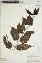 Lundia puberula Pittier, PERU, A. H. Gentry 32016, F