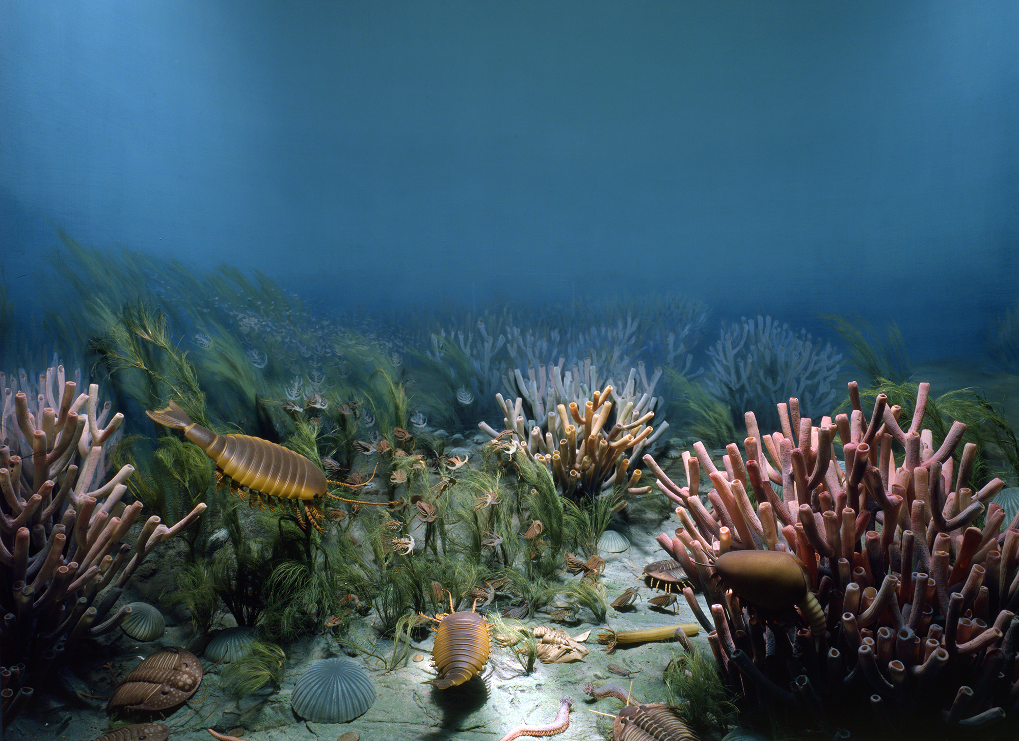 Middle Cambrian Life diorama, 500 million years ago. Models of seaweed, sponges, sea cucumbers, brachiopods, worm, trilobites and crustaceans.  Fine grained shale bed from British Columbia. Hall 37. Fossil invertebrates.