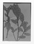 Field Museum photo negatives collection; Genève specimen of Styrax roraimae Perkins, BRITISH GUIANA [Guyana], M. R.  Schomburgk 589, Isosyntype, G