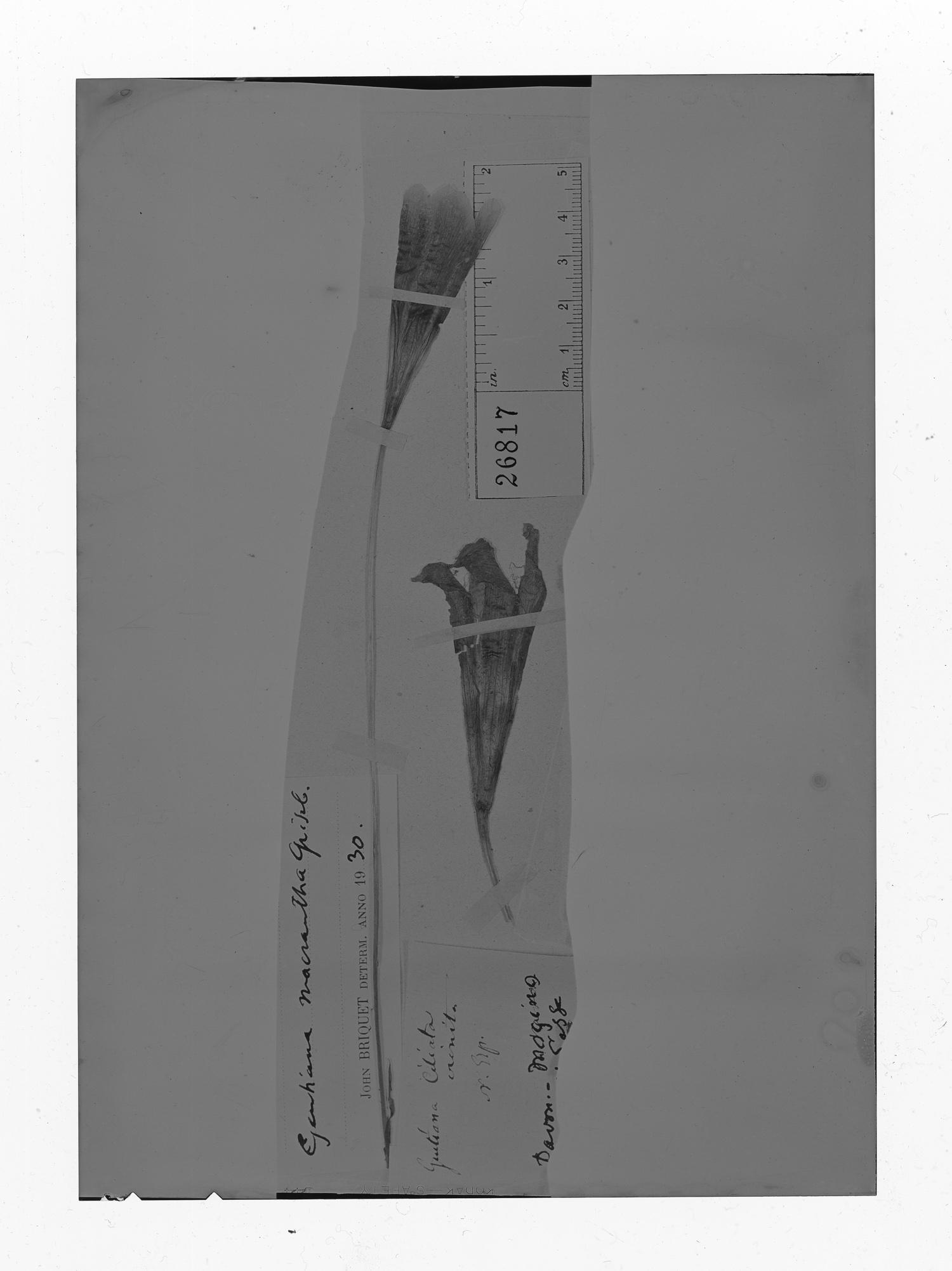 Gentianopsis macrantha image