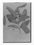 Field Museum photo negatives collection; Genève specimen of Aspidosperma sessiliflorum Müll. Arg., Trinidad and Tobago, F. W. Sieber 53, Syntype, G