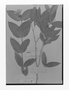 Field Museum photo negatives collection; Genève specimen of Tabernaemontana rupicola Benth., GUYANA, Schomburgk 898, Type [status unknown], G