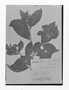 Field Museum photo negatives collection; Genève specimen of Rauvolfia latifolia var. minor Müll. Arg., Trinidad and Tobago, F. W. Sieber 268, Type [status unknown], G
