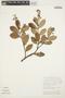 Forsteronia guyanensis Müll. Arg., GUYANA, P. J. M. Maas 3909, F