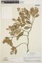 Forsteronia guyanensis Müll. Arg., BRAZIL, H. S. Irwin 48163, F