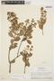 Forsteronia guyanensis Müll. Arg., BRAZIL, H. S. Irwin 48298, F