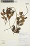 Forsteronia guyanensis Müll. Arg., Venezuela, B. K. Holst 2712, F