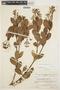 Forsteronia guyanensis Müll. Arg., VENEZUELA, J. J. Wurdack 39733, F