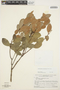 Forsteronia guyanensis Müll. Arg., VENEZUELA, J. A. Steyermark 87618, F