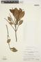 Forsteronia guyanensis Müll. Arg., VENEZUELA, J. A. Steyermark 88452, F