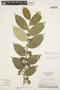 Geissospermum argenteum Woodson, Brazil, G. T. Prance 24719, F