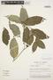 Geissospermum argenteum Woodson, BRASIL, J. L. Zarucchi 3166, F