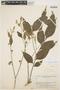 Geissospermum argenteum Woodson, BRASIL, B. A. Krukoff 8034, F