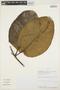 Macropharynx spectabilis (Stadelm.) Woodson, PERU, H. H. van der Werff 16590, F