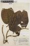 Macropharynx spectabilis (Stadelm.) Woodson, ECUADOR, J. A. Steyermark 54895, F