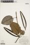 Macropharynx spectabilis (Stadelm.) Woodson, PERU, J. Schunke Vigo 5574, F