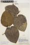 Macropharynx spectabilis (Stadelm.) Woodson, VENEZUELA, J. A. Steyermark 62239, F