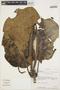 Macropharynx spectabilis (Stadelm.) Woodson, Bolivia, A. H. Gentry 74127, F