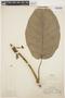 Macropharynx spectabilis (Stadelm.) Woodson, PERU, G. Klug 1101, F
