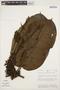 Macropharynx spectabilis (Stadelm.) Woodson, PERU, J. Schunke Vigo 9272, F