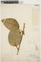 Macropharynx spectabilis (Stadelm.) Woodson, PERU, Ll. Williams 711, F