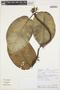 Macropharynx spectabilis (Stadelm.) Woodson, PERU, Rod. Vásquez 36584, F