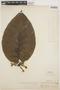 Macropharynx spectabilis (Stadelm.) Woodson, PERU, G. Klug 541, F