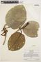 Macropharynx spectabilis (Stadelm.) Woodson, VENEZUELA, J. A. Steyermark 1254, F