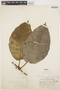 Macropharynx spectabilis (Stadelm.) Woodson, PERU, E. P. Killip 27493, F