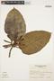 Macropharynx spectabilis (Stadelm.) Woodson, BOLIVIA, A. Krapovickas 34954, F
