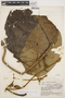 Macropharynx spectabilis (Stadelm.) Woodson, ECUADOR, J. A. Steyermark 53835, F
