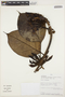Macropharynx spectabilis (Stadelm.) Woodson, PERU, J. Perea 428, F