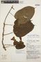 Mandevilla callista Woodson, PERU, J. Schunke Vigo 12293, F
