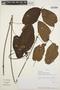 Mandevilla callista Woodson, PERU, J. Schunke Vigo 8562, F